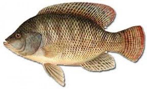سمك بلطي بطريقة جديدة