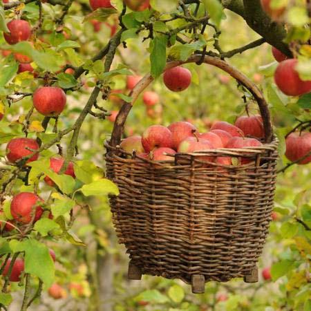فوائد التفاح العلاجية